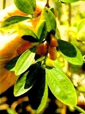wachsen kokapflanzen in europa